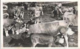 CPSM Paturages Dans L' Aubrac Le Jour De La Montée - Vaches - France
