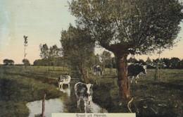 254963Groet Uit Heerde, Met Koeien. - Pays-Bas