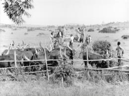 Photo Uganda Bahima, Pasteurs élancés Hamites Et Leurs Ankole Cattle1987  Photo Vivant Univers - Afrique