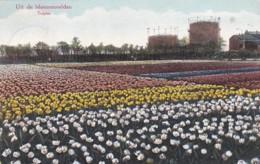 2606349Hillegom, Uit De Bloemenvelden Tulpen – 1925 (zie Hoeken) - Nederland