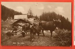 MTZ-01 Vaches D'Hérens à L'alpage, Lieu Inconnu Anniviers,Hérens,Bagnes ?ANIME.Circulé 1923 Phototypie 6651Trou épingle - VS Valais