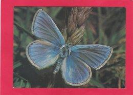 Modern Post Card Of Butterflies,Common Blue Butterflie,X24. - Butterflies