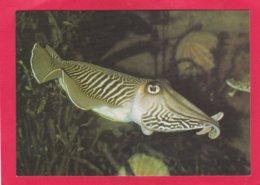 Modern Post Card Of Tropical Fish,Cuttlefish,X24. - Fish & Shellfish