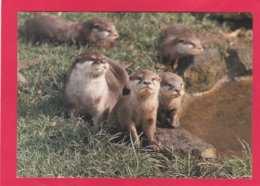 Modern Post Card Of Asian Short Clawed Otters,X25. - Other