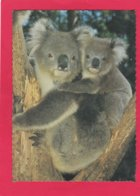 Modern Post Card Of Koala,AustraliaX25. - Animaux & Faune