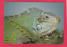 Modern Post Card Of South American Iguana,X25. - Other