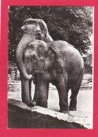 Modern Post Card Of Elephants,X25. - Elephants