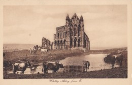 AP79 Whitby Abbey From E. - Cows In Foreground - Whitby