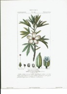 Reproduction De Lithographie -Botanica- Ibisco Eterofillo -Hibisets Heterophyllus  -Li4 - Reproductions