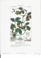 Reproduction De Lithographie -Botanica-Fragola DelleIndie-FragariaIndica  -Li5 - Repro's