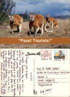 KANGAROOS,AUSTRALIA POSTCARD - Animali