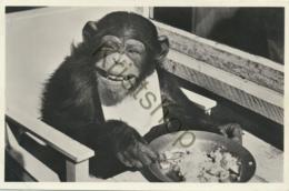Arnhem - ZOO - Chimpansee Joke [AA27 1.914 - Ohne Zuordnung