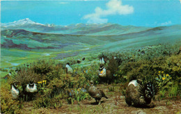 Etats-Unis - Colorado - Sage Grouse Exhibit - Northwestern - Animaux - état - Etats-Unis