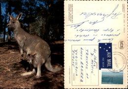 KANGAROO,AUSTRALIA POSTCARD - Tierwelt & Fauna