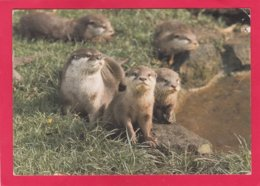 Modern Post Card Of Animals,Asian Short Clawed Otters,X27. - Other