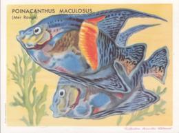CHROMO - Biscottes Clément - Poisson - Poinacanthus Maculosus - Animali
