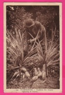 CPA (Réf: Z 2494) (GOUADELOUPE) Cueillette Des Ananas  (animée) - Guadeloupe