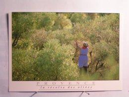 Agriculture - Culture - La Récolte Des Olives - Landwirtschaftl. Anbau