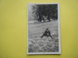 CLÈRES. Le Parc Zoologique. Le Gibbon. - Clères