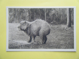 CLÈRES. Le Parc Zoologique. Le Capybara. - Clères