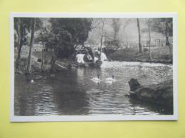 CLÈRES. Le Parc Zoologique. Les Cygnes à Cou Noir. - Clères