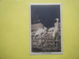 CLÈRES. Le Parc Zoologique. Les Grues De Paradis. - Clères