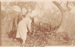 La Cueillette Des Capres (Var) - Agriculture