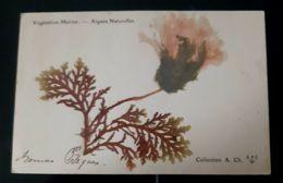 VEGETATION MARINE ALGUES NATURELLES COLLECTION A.CH BOTANIQUE MARINE VEGETATION ALGAE NATURAL PLANTE FLEURS - Otros