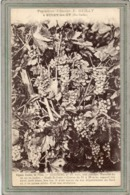 CPA - BUCEY-les-GY (70) - Aspect Du Raisin Couderc N° 10 Des Pépinières Viticoles E. Guilly En 1928 - Otros Municipios