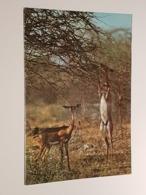 Kenya, Gerenuk - Giraffengazellen (gelaufen ,  Ca. 1990); H39 - Kenia
