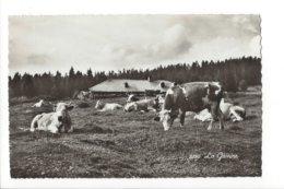 22647 - La Givrine Chalet D'alpage Et Troupeau De Vaches - VD Waadt