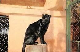 Spain Zoo Municipal De Fuengirola Panther Animal - Spain