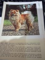 SCHEDA PUBBLICITA MEDICA MISTRETTI  SEDOPEPTINA GATRICO  / CANE DOG CHOW CHOW  1955 HG1436 - Pubblicitari