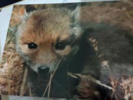 VOLPE  FOX  CUCCIOLO Foto Bessi  Pro Territorio VALLE D'AOSTA  N1990  HG1481 - Animals