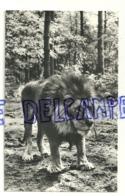 Lion. Leeuw In Burgers Safari, Arnhem. Pays-Bas - Lions