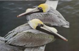 AO34 Animal Postcard - Florida Pelicans - Birds