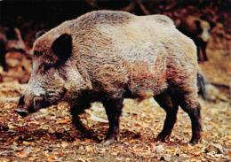 Sanglier Sangliers - Tierwelt & Fauna