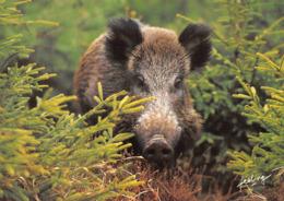 Sanglier Sangliers Feeling - Tierwelt & Fauna