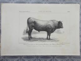 GRAVURE LITOGRAPHIE  Race DE SALERS   1855 CONCOURS DE CLERMONT TAUREAU PRESENTE PAR SIMON ST MARTIN DE VALMEROUX - Prenten & Gravure