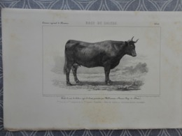 GRAVURE LITOGRAPHIE  Race DE SALERS   1855 CONCOURS DE CLERMONT VACHE  PRESENTEE PAR TARAVANU TAUVES - Estampes & Gravures