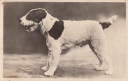 CPA - Chien - Carte Photo ( Fox Terrier ?? ) - Chiens