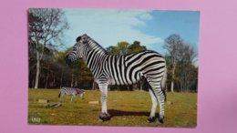 ZEBRE - Réserve Africaine Du Château De THOIRY - Zebras