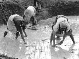 Photo Madagascar Repiquage Du Riz Par Les Femmes Région D'Antalaha 1998 Vivant Univers - Afrika