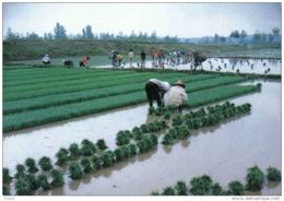 Carte Postale Asie Corée Du Sud Plantation Du Riz  Trés Beau Plan - Korea (Zuid)