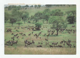 Afrique Rwanda Troupeau Antilope Topi Parc Akagera - Rwanda