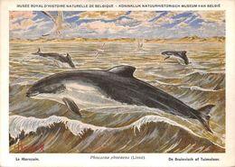 Musee Belgique Phocaena Phocaena Phocoena Phocoena Harbour Porpoise Henderyckx - Animals