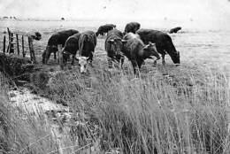 Belgium Zoutenaaie Belgie's Kleinste Dorp Weidelandschap Cows Animals - Bélgica