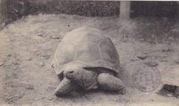 75. PARIS. CPA  JARDIN DES PLANTES. UNE TORTUE ÉLÉPHANTINE. + TEXTE - Schildpadden