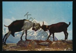 Ziegen - Goats - Geiten In Switzerland [AA26 1.325 - Suisse