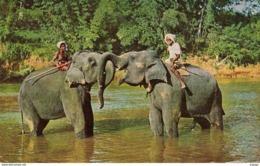 CEYLON  Elephants At Play In The Mahaweli Ganga Near Kandy    2 Scans - Sri Lanka (Ceylon)